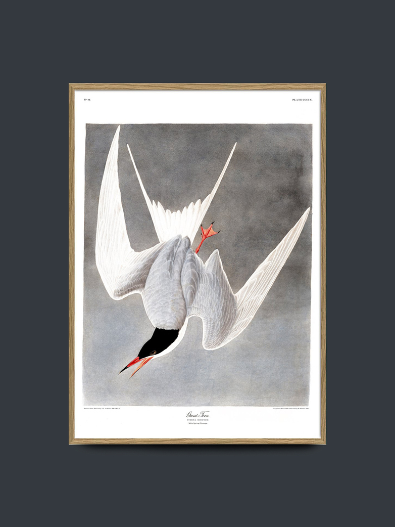 Great Tern 70x100