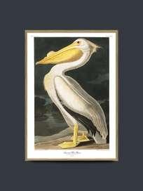 American White Pelican 50x70