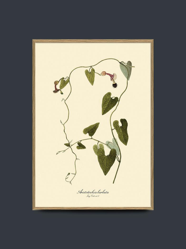 Aristolochia Babata 50x70