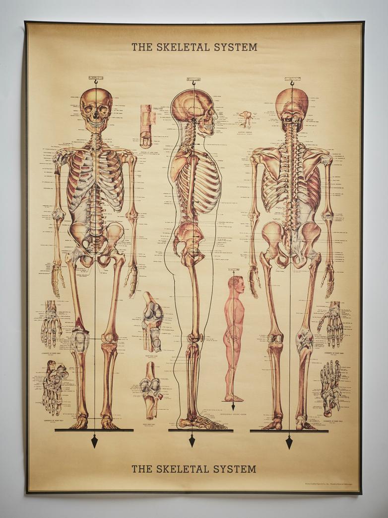 Poster The Skeletal System