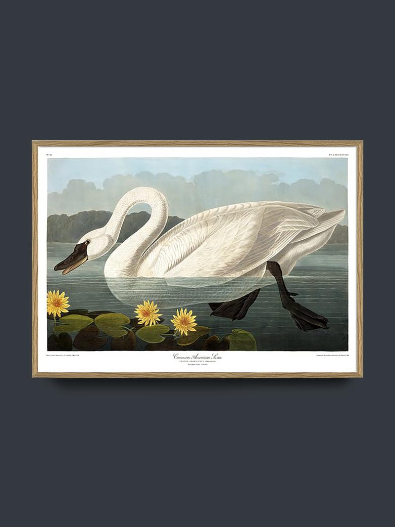 Swan - 50x70 cm