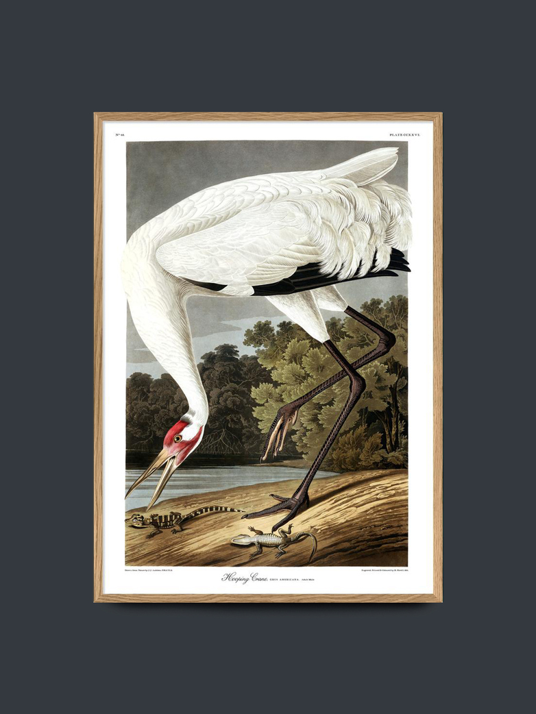 Whooping Crane – 50x70