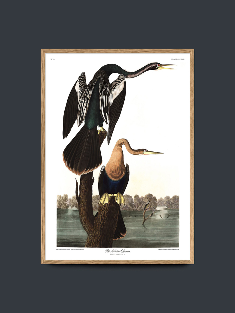 Black Bellied Darter – 70x100