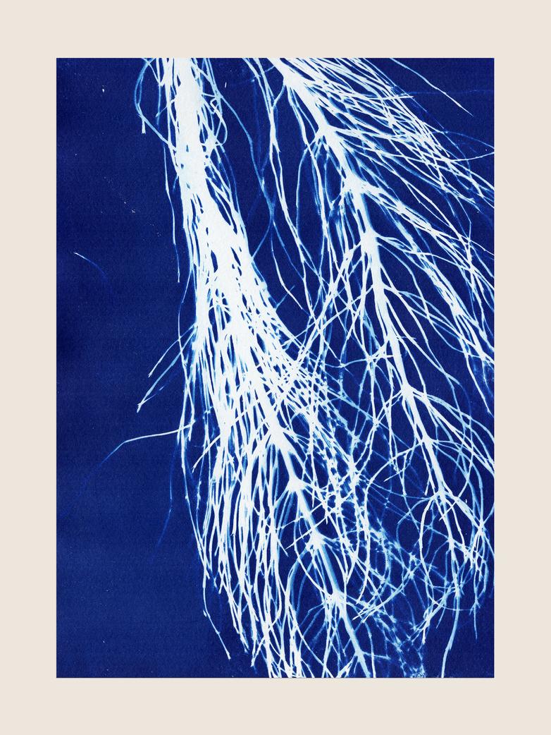 Cyanotypi - 50 x 70 cm